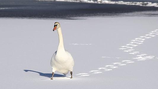 bird, footprints, nature, snow, swan, trail, white bird
