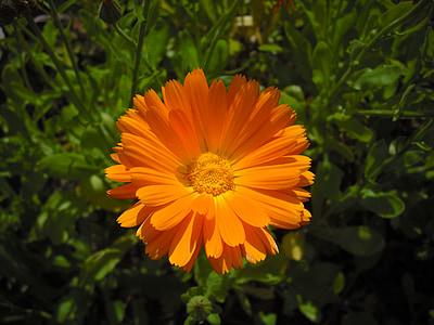 Medetkų, Medetkų, gėlė, oranžinė, uždaryti, gėlių sodas, Gamta