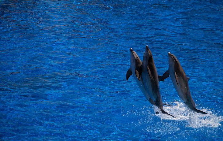 Delfino, cetaceo, acqua, salto, blu, vasca idromassaggio, animale marino