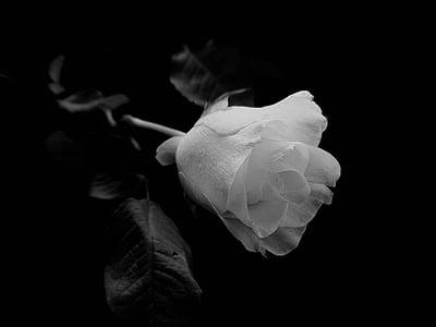 Rosa, flor, roses blanques, negre, blanc, fons, natura