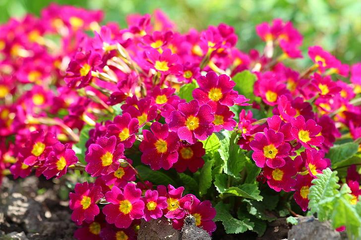flors, enotera, vermell, primavera, brillant, bonica