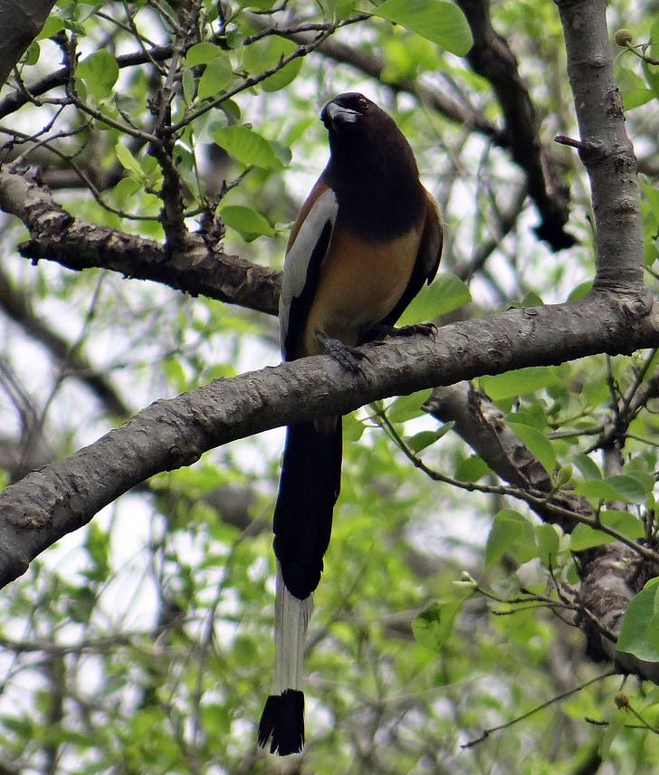 rufous treepie, dendrocitta vagabunda, treepie, bird, bharatpur, bird sanctuary, india