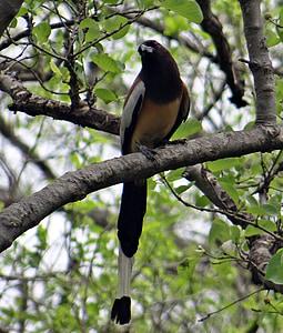 huppuviidakkoharakka sekä Harakka, dendrocitta vagabunda, Harakka, lintu, Bharatpur, lintujensuojelualue, Intia