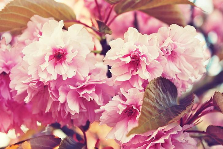 kvitnúce sakury, jar, kvety, ružová, ružové kvety, strom, listy