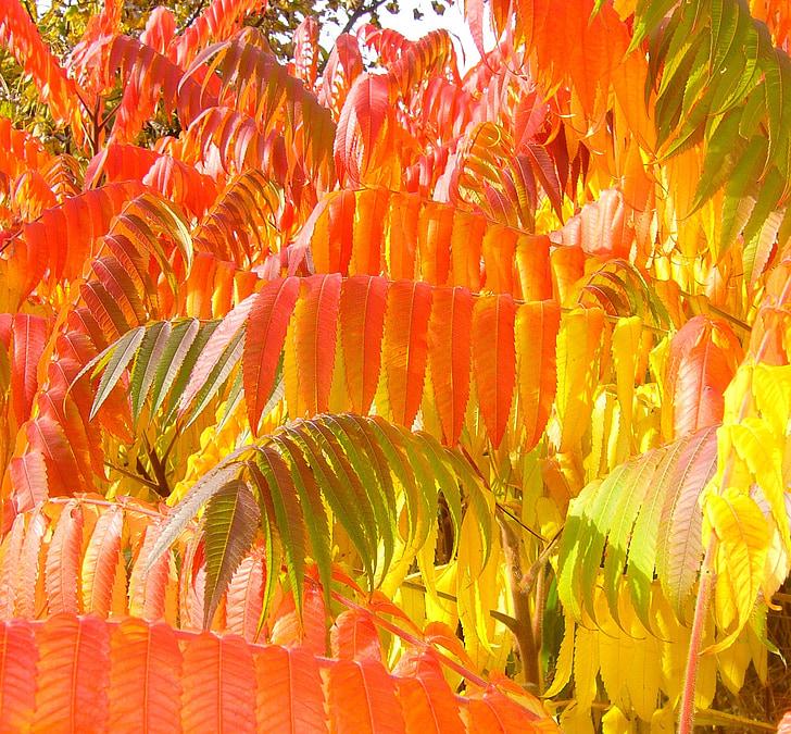sumac, rudens, kritums, zaļumi, atstāj, sezonas, dzeltena