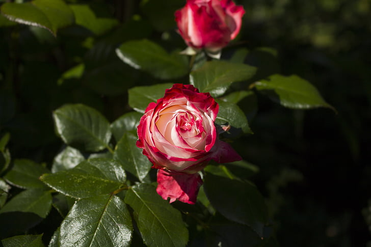 กุหลาบ, ธรรมชาติ, ดอกไม้ดอกกุหลาบ, ดอกกุหลาบสีแดง, สวนกุหลาบ
