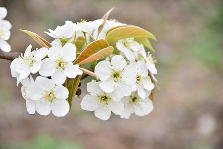 Birne Blume, Obstgarten, weiß, weiße Blüten, Flora, Frühling