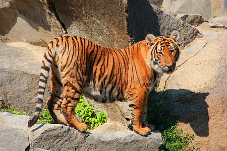 tiger, cat, animal world, predator, animals, animal, striped