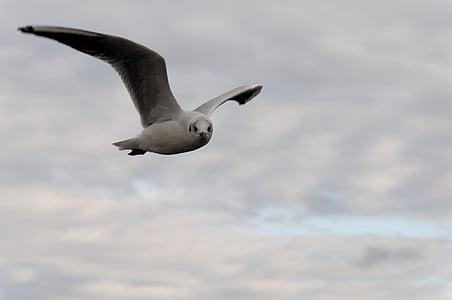 seagull, bird, flight, clouds, animal, water bird