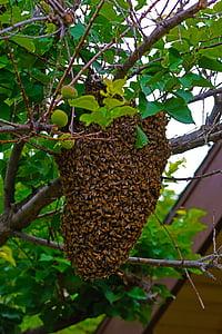 abelles, abelles, rusc en moviment, Colònia, reubicació