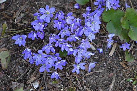 jetrnik, pomlad, spomladanske cvetlice, cvet, rastlin, pennywort, finščina