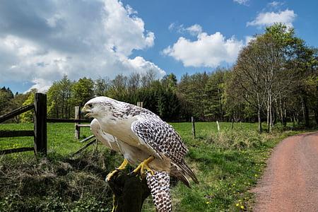 florin, vânătoare cu şoimi, pasăre, păsări răpitoare, pasăre de pradă, aripa, natura
