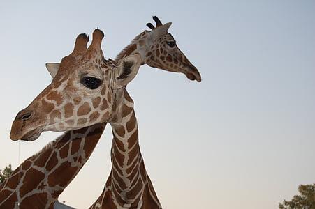 giraffe, wildlife, zoo, animal wildlife, animals in the wild, one animal, animal themes