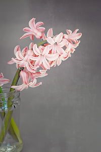 květ, Hyacint, květiny, voňavé květiny, voňavé, schnittblume, Jarní květina