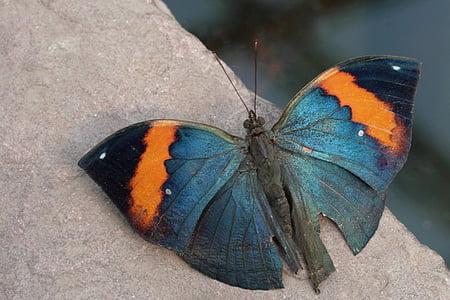 Motyl, Motyl tropików, owad, Indian journal, egzotyczne, reszta, skrzydło