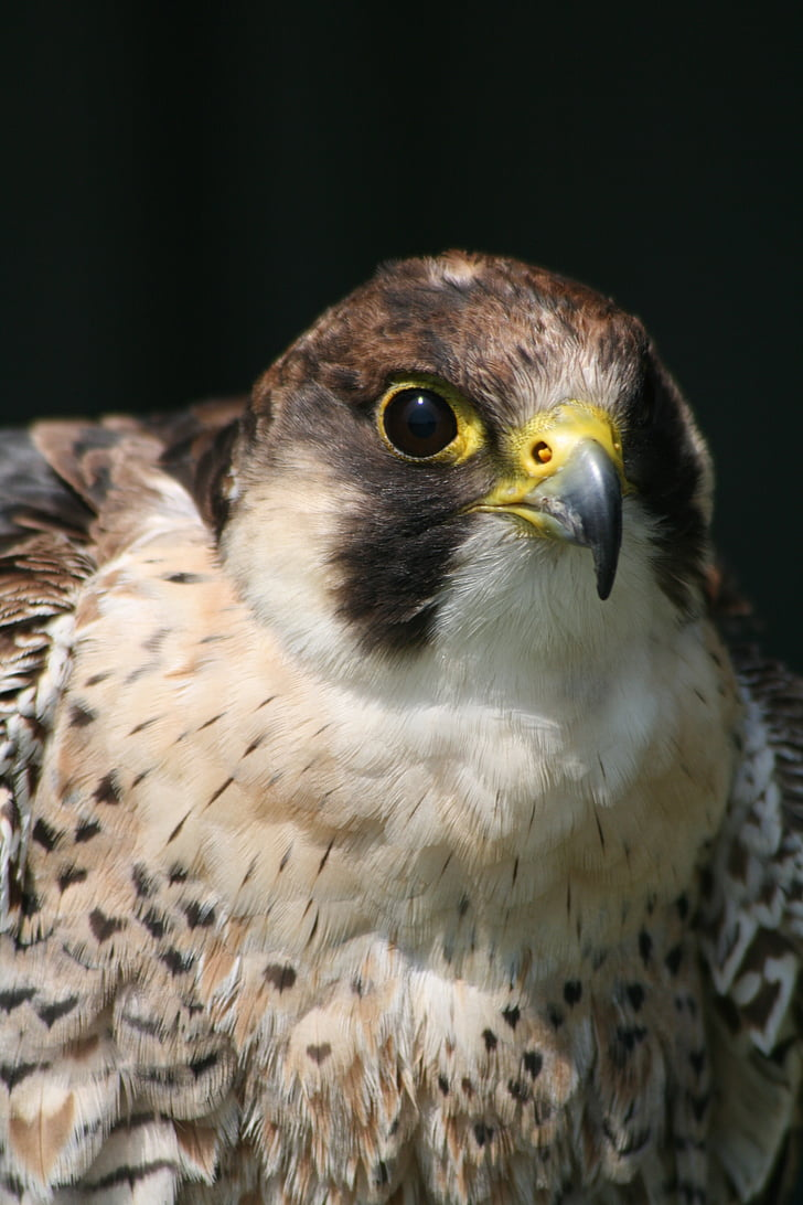 bird of prey bird, prey, beak, falconer, hunter, wildlife, bird