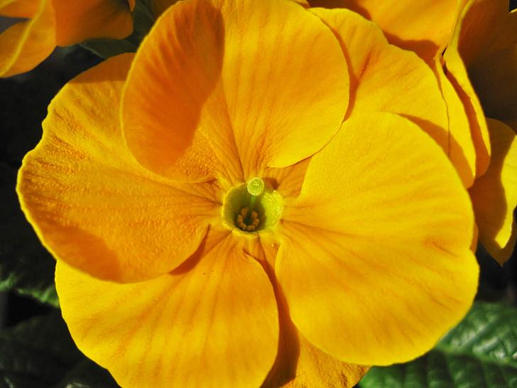kollane priimula, õnnelik elu lill, osalise vaatega, detail, Sulgege, kollane, lõhnav taim
