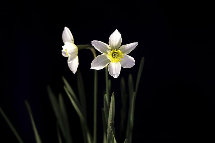 flor, floració, flor, flor, Daffodil, Narcís, floració