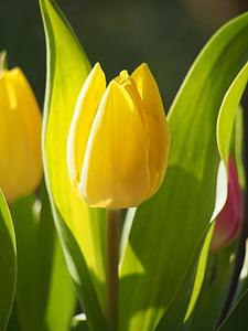 Tulip, heinamaa, voodi, roheline, õis, Bloom, Aed