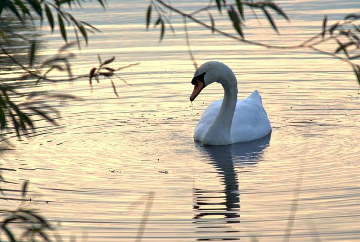 swan, autumn, nature, lake, park, river, evening