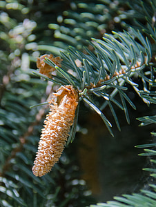 spruce, tree, conifer, pine cone, needles, branch, outdoors