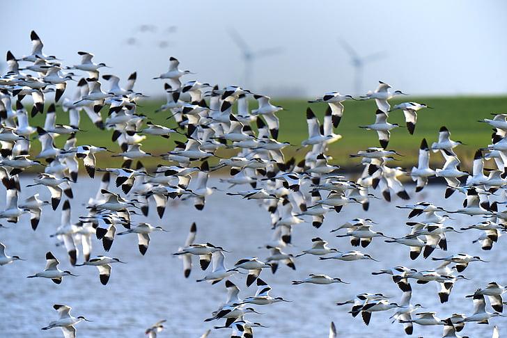 Avocet, Северно море, миграция на птиците, птица, стадо от птици, плаващи, животните