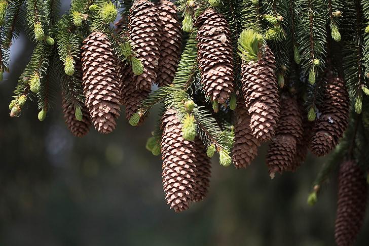 fir, tap, forest, nature, tree, fir Tree, coniferous Tree