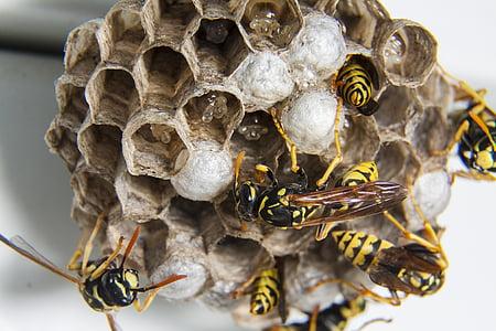 eixam, vespes, bolquer, niu de vespes, insecte, abella, rusc