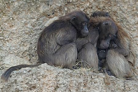 dschelada dels primats, mico, grup, fred, l'hivern, animals, vida silvestre