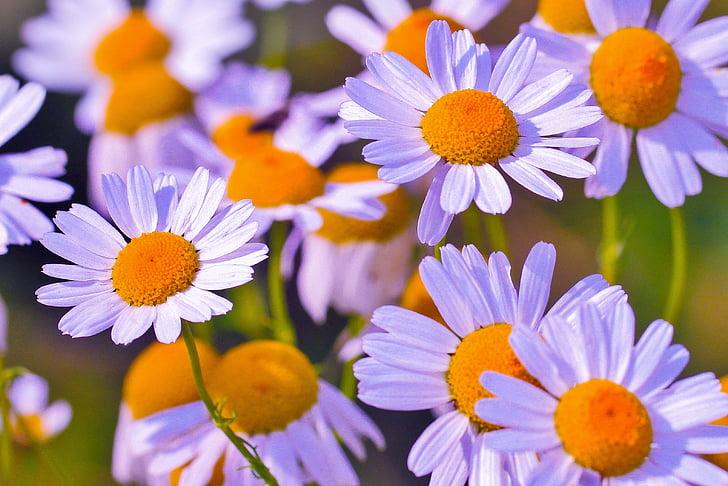 flor, Camamilla, flor medicinal, medicinals, natura, plantes, planta medicinal