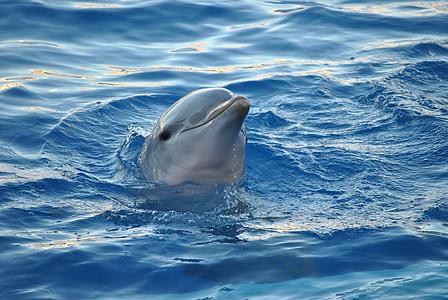 Dolphin, djur, havet, vatten, Ocean, Marine, hoppning