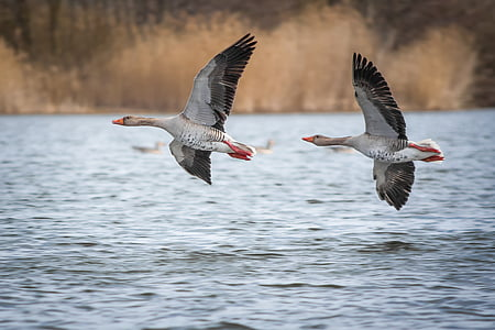 geese, greylag goose, lake, creature, goose, bird, poultry