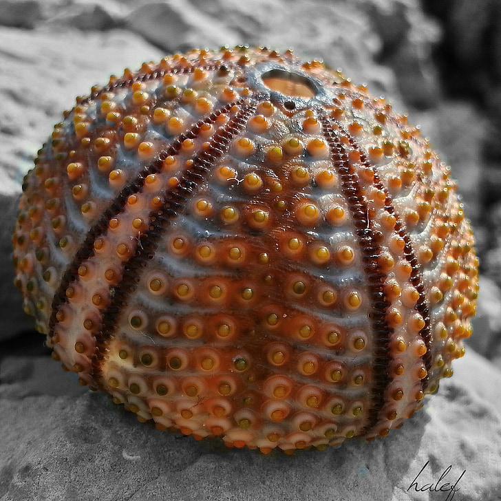 morski jež, marinac, plaža, priroda, morska stvorenja, Saskatoona, Hatay