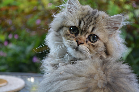 cat, persian, kitten, domestic Cat, pets, cute, animal