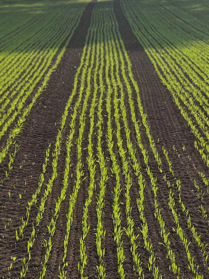 arable, field, corn, cornfield, agriculture, series, autumn