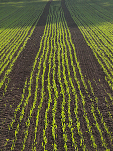 орни, поле, царевица, царевицата, Селско стопанство, серия, Есен