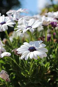 flower, flowers, natural, white, white flower, white flowers, summer