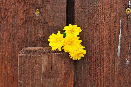 krüsanteemid, lill, lilled, kollane, puit, taust, Makro