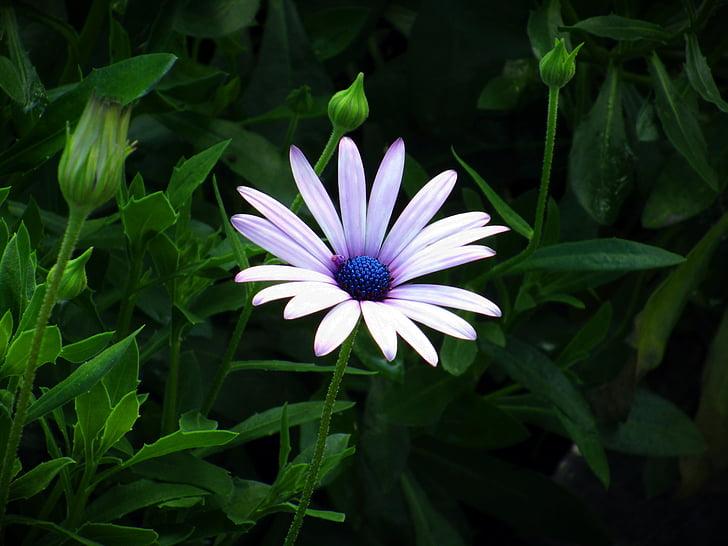 dimorphoteca ecklonis, dimoforteca, cvetnih listov, marjetica, Latica, narave, eksotična roža