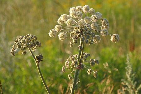 Angèlica, males herbes, Prat, l'estiu, natura, planta, camp