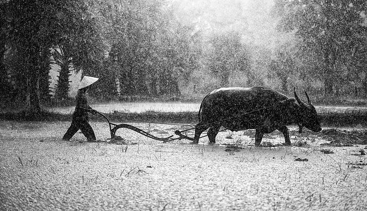 Сельское хозяйство, Азия, Камбоджа, страна, культивировать, Выращивание, Культура