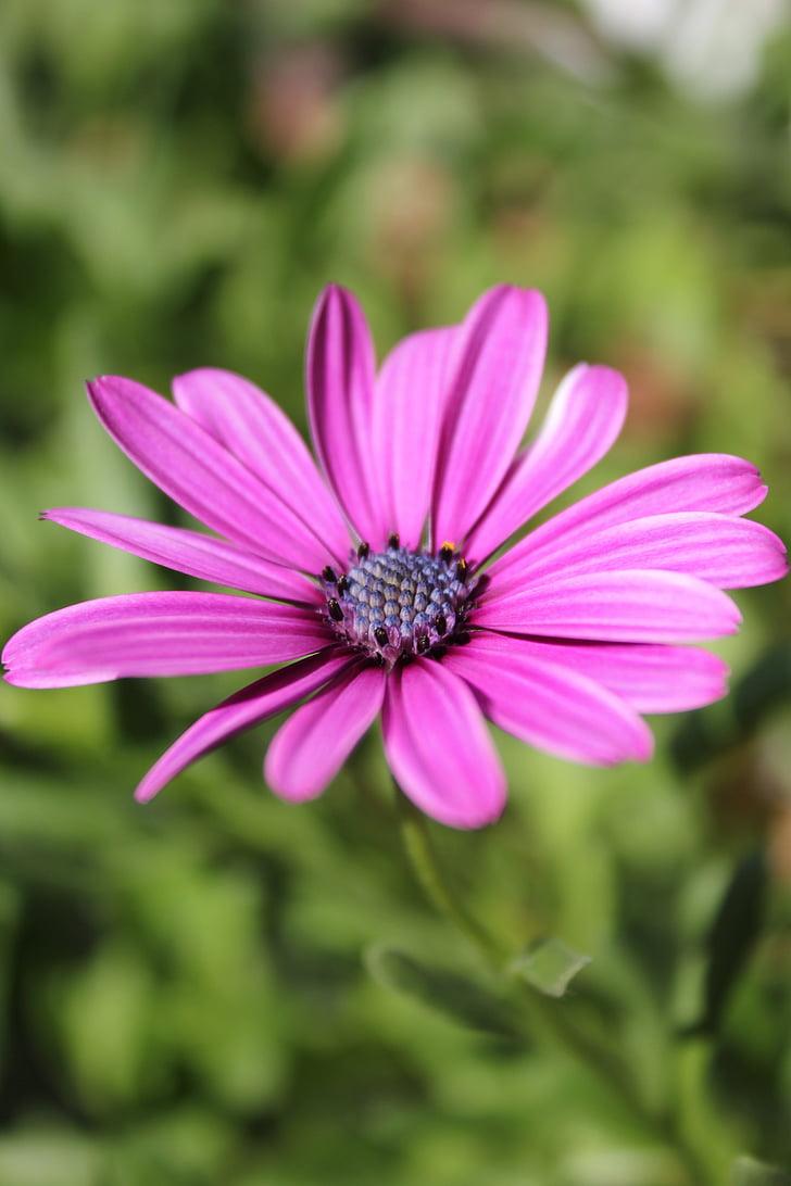violeta, flor, porpra, flors