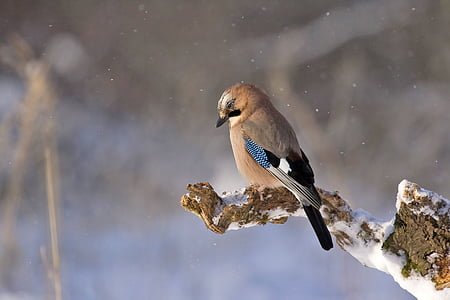 jay, bird, konar, winter, nature, wildlife, animal