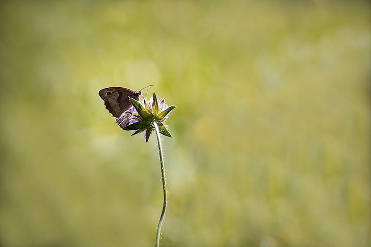 Prat marró, papallona, insecte de vol, món animal, animal, natura, insecte