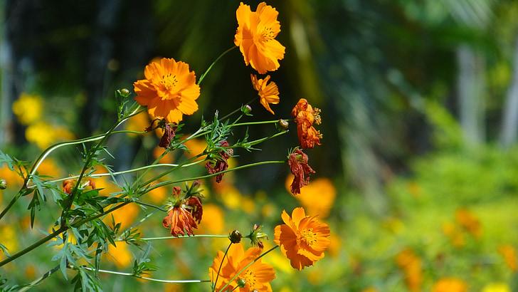 puķe, dārza, puķu dārzs, dzeltena, dārzkopība