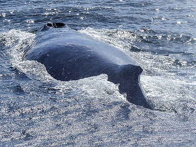 humpback whale, back, diving, natural spectacle, nature, mammal, animal