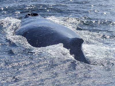 ザトウクジラ, 戻る, ダイビング, 自然の光景, 自然, 哺乳動物, 動物