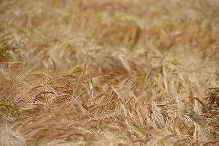 blat, camp, cereals, gra, camp de blat, espiga, camp