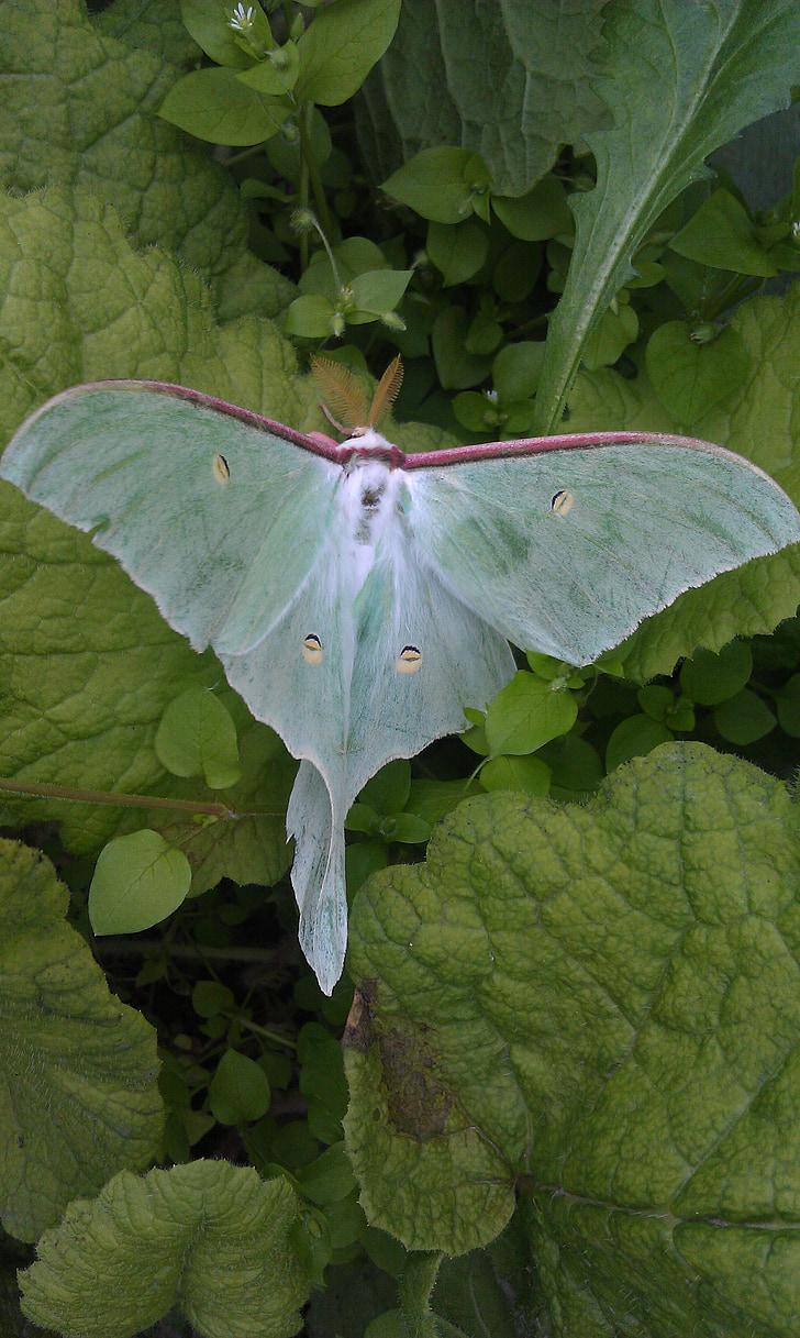 Saturnia luna, actias luna, základné moth, motýľ, chasheobraznye, bohato, Zelená