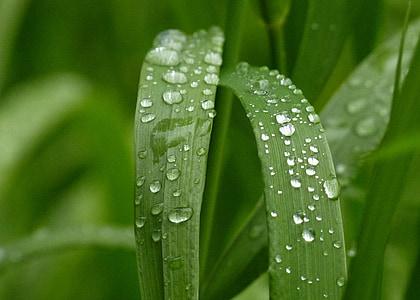 Zelená, tráva, Príroda, Záhrada, kvapky dažďa, detail, kvapky dažďa